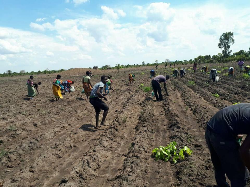 Planting in Malawi